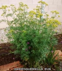 ruda con cebollino en flor en la base