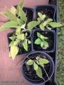 plantas de consuelda rusa