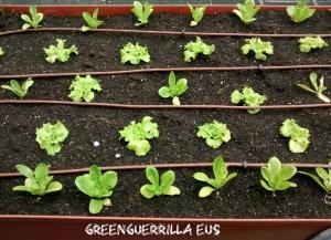 lechugas variadas en mesa de cultivo