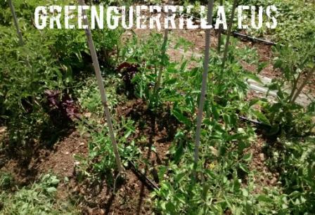 huerto de tomates limpio de hierbas adventicias